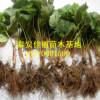 山冬泰安草莓苗基地新育大量优质晶育草莓苗价格优惠