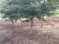 恒景园林鸡爪槭
