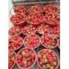 云南草莓苗 基地大量批发优质云南草莓苗 价格优惠