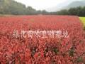 红叶石楠,红叶石楠球