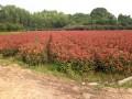 红叶石楠小杯苗
