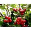 广西山楂树苗、广西山楂树苗新品种、广西山楂树苗价格