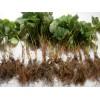 山东法兰地草莓苗、山东法兰地草莓苗新品种、草莓苗种苗