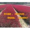 供應紫葉矮櫻營養杯苗30萬棵 多分枝高度700mm