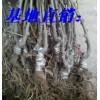 猕猴桃适应全国种植,嫁接猕猴桃苗价格,猕猴桃苗批发