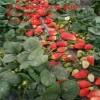 贵州哪里有甜宝草莓苗 贵州哪里有红颜草莓苗 至盛基地