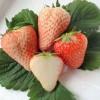 紅顏草莓苗批發