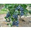 斯巴坦蓝莓树苗.蓝莓苗批发