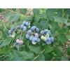 蓝莓树苗.栽培蓝莓树苗