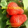 草莓苗 红颜草莓苗 红颜草莓苗价格 出售还有草莓苗