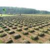 高羊茅草坪价格_高羊茅草坪图片_高羊茅草坪绿化苗木苗圃基地