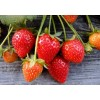 丰香草莓苗价格