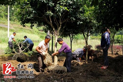 掘取苗木时根部或土球的规格
