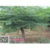 1~2~3~4~5公分金银木树报价
