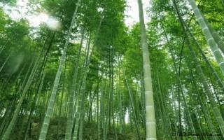竹类苗木的生物学特性
