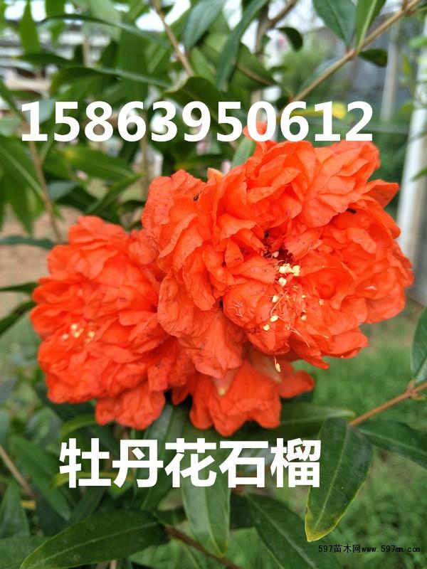 苹果原机红花壁纸