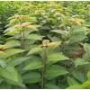 早大果 拉宾斯 樱桃苗哪里有卖 山东泰东苗木有限公司