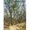 供应30-100公分移栽丛生朴树