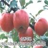 红肉苹果苗价格 红将军苹果苗批发