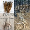 油用牡丹苗|油用牡丹發展前景|油用牡丹種植技術視頻
