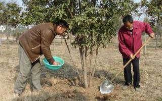 苗木基肥的施用時期