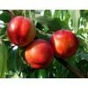 曙光油桃苗、曙光油桃树苗、曙光油桃树苗多少钱一棵
