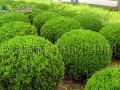 瓜子黄杨球基地