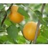 杏树苗 珍珠油性杏树苗