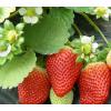 红颜草莓苗批发销售中心