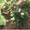 日本品种红颜草莓苗 河北红颜草莓苗批发零售