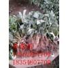 丰香草莓苗价格 法兰地草莓苗