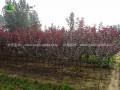 紫叶矮樱基地