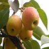 1公分富士王苹果苗前景好