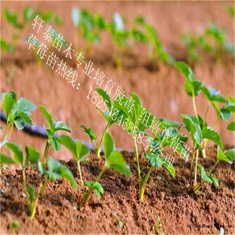 597苗木网 供应信息 绿化苗木 果树小苗    梨树苗:园黄 皇冠 早酥红