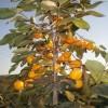 2公分黑枣柿柿子苗基地
