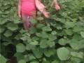 紫荆基地、种子