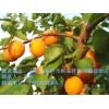 临沂各种杏树苗供应,杏树苗最低报价