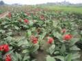 红花,黄花美人蕉