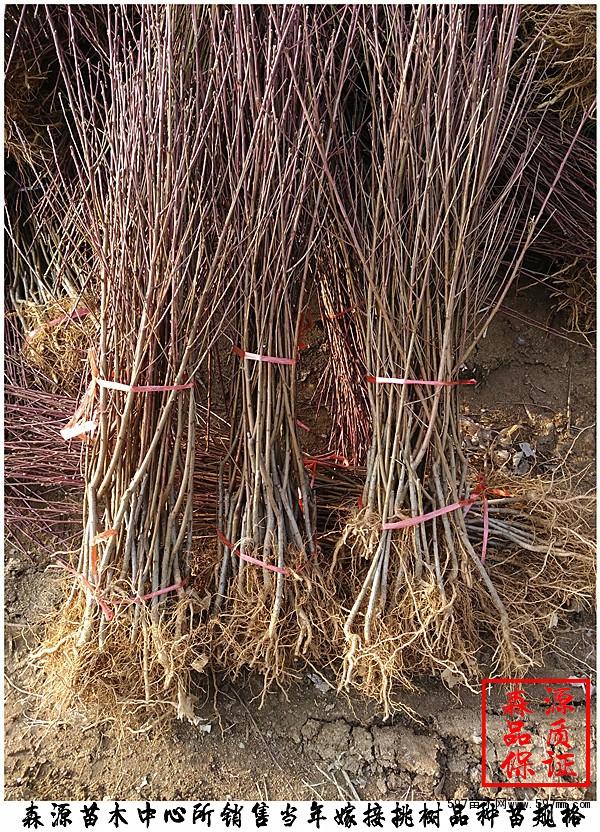 黄桃树苗优新品种,嫁接黄桃苗基地|果树小苗|绿化苗木