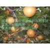 晚秋黄梨,金秋香梨,爱宕梨苗等各种梨树苗供应
