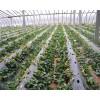 哪里草莓苗品种多 适应性强的草莓苗 甜查理草莓苗
