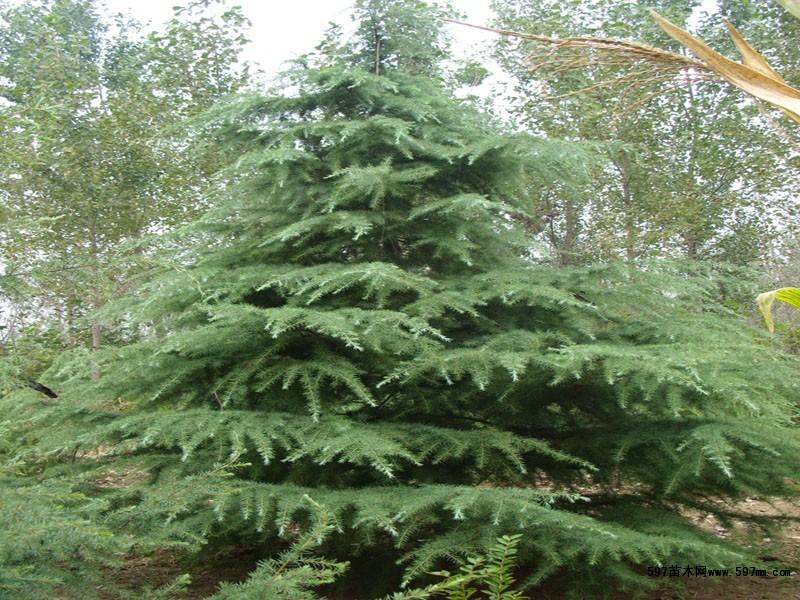 雪松树的形态特征和分布习性