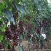 4公分青提葡萄苗产量