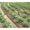 甜查理草莓苗基地