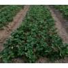 甜查理草莓苗产量