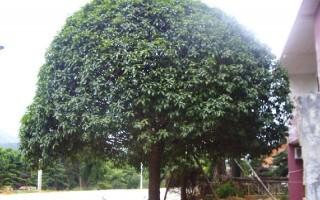 桂花树的形态特征和分布与习性