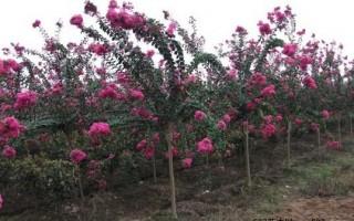 紫薇树的形态特征和产地与习性