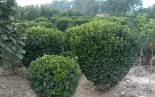 大叶黄杨的形态特征和产地与习性