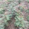 黄连木种子一年生黄连木小苗三公分黄连木价格