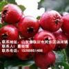 沂蒙山楂苗的优点,沂蒙山楂苗的价格,最优山楂苗的供应